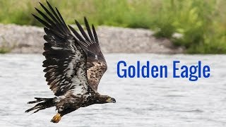 Golden Eagle: In Flight and on Attack the Golden Eagle is Gorgeous