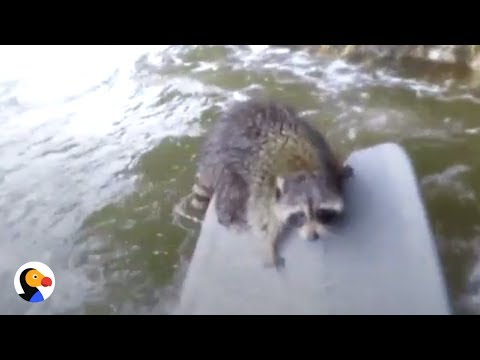 Guy Swims Across Rapids to Save Raccoon | The Dodo
