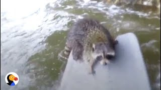 Guy Swims Across Rapids to Save Raccoon | The Dodo thumbnail