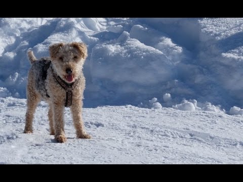 Lakeland Terrier Pucki - Happy in the snow (in HD)
