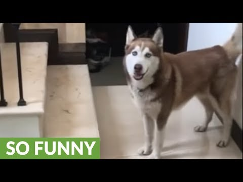 Ecstatic husky can't contain happiness for walk time