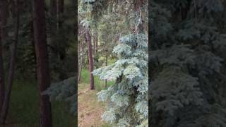 Mama Bear Attacks Fawn While Cubs Watch From Tree!