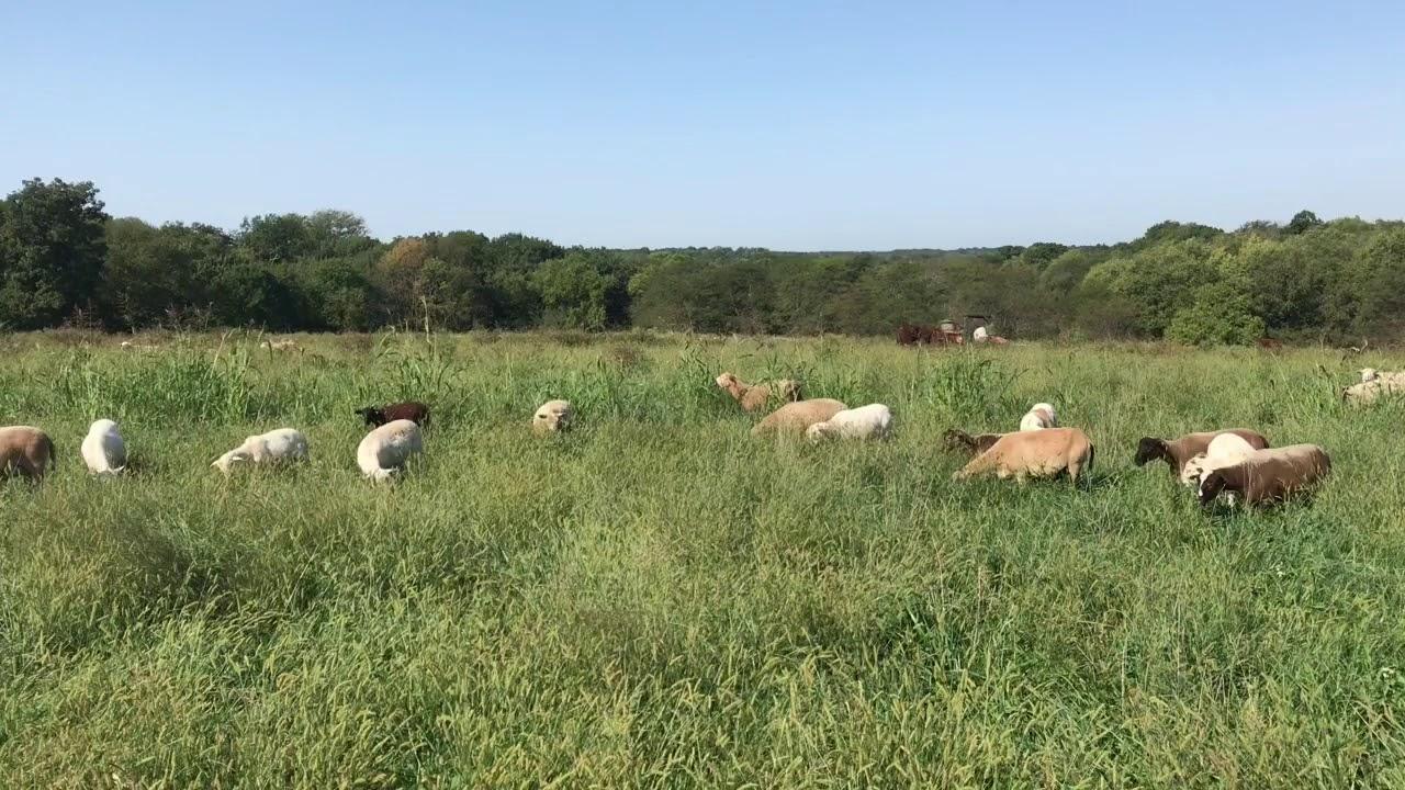 Sheep Sales - Maplewood Acres Farm