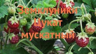 Земляника садовая Цукат мускатный ???? обзор: как сажать, саженцы земляники Цукат мускатный
