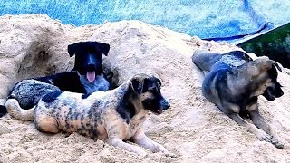 Lovely Auvergne pointer dog, Australian Kelpie dog and Ridgeback dog, happy play on the sand.