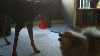 Doberman Vs Pomeranian In A Vicious Tug Of War