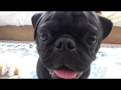 BLACK PUG PLAYING!