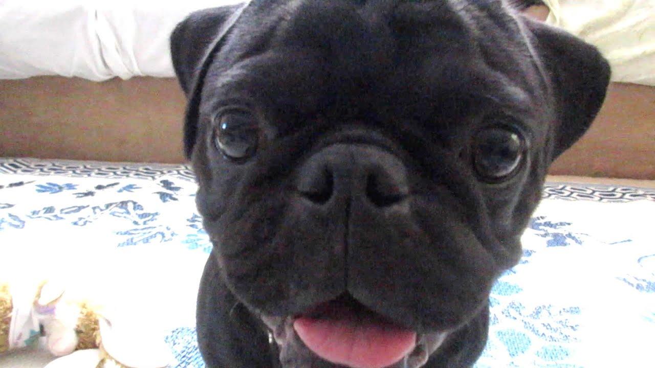 Black Pug Playing Youtube