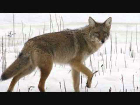 coyotes in st john's radio noon