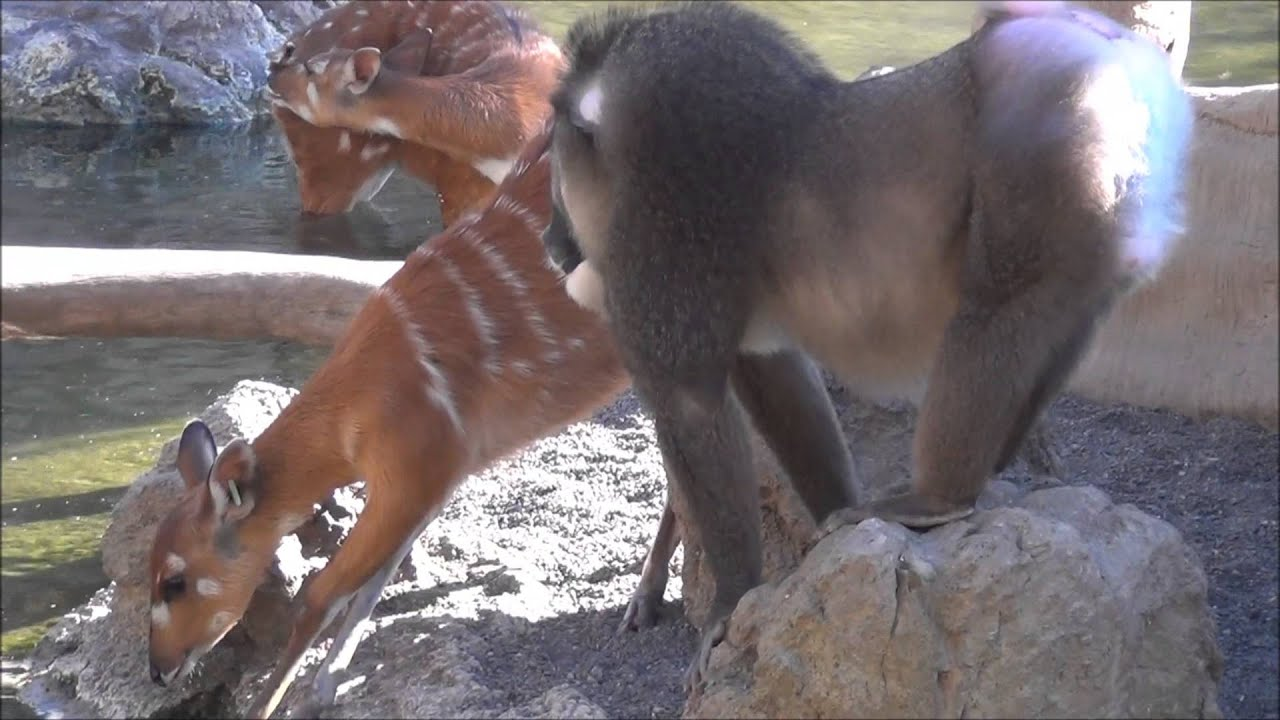 Monkey punches a Deer - Funny Video - YouTube