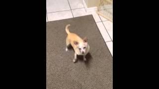 Video #8 SARDS blind dog popcorn test
