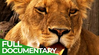 The Last Lion of the Liuwa Plain | Free Documentary Nature