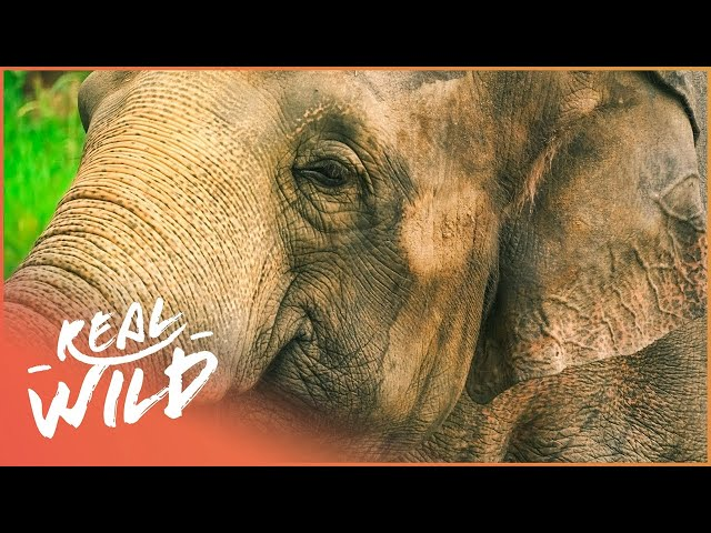 Elephant Gets A Pedicure In The Dublin Zoo | The Zoo | Real Wild