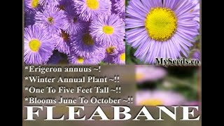 Video Fleabane Daisy - Erigeron Speciosus FLOWER SEEDS on  www.MySeeds.Co download MP3, 3GP, MP4, WEBM, AVI, FLV Agustus 2018