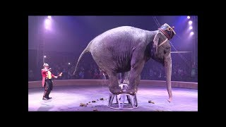 Слон срет в цирке. An elephant defecates in a circus.