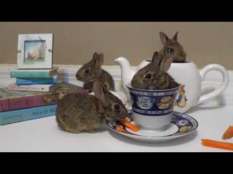 There's a hare in my tea / Baby bunny rescue day 10
