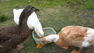 Pet Ducks Celebrate Their First Birthday With Peas (Starts at 1:10)