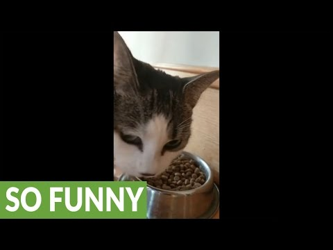 Excited cat makes loud noises while eating