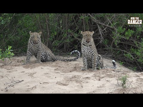 Hukumuri Female Leopard And Son - Presented By Liaan Lategan