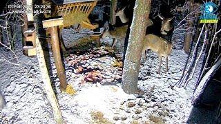 🦌 Łanie w paśniku dla dzikich zwierząt w lesie na Podkarpaciu