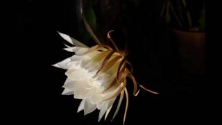 Queen of the Night Blossom