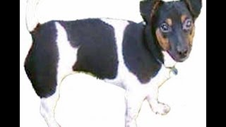 Jack Russell Terrier: Working Dog - Therapy - Friend & Family Pet.