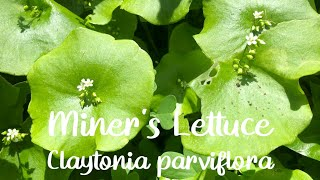 Sheltered in Place: the Backyard Series - Miner's Lettuce