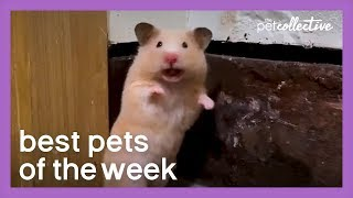 Social Distancing Hamster | Best Pets of the Week