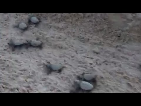 WEB EXTRA: Sea Turtles Hatch and Enter Ocean on Key West Beach