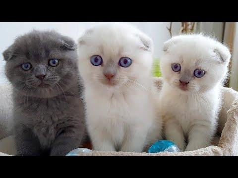 Маленькие КОТЯТА и Шотландские Вислоухие КОШКИ! Котята подросли и хотят играть! Видео про котят😻