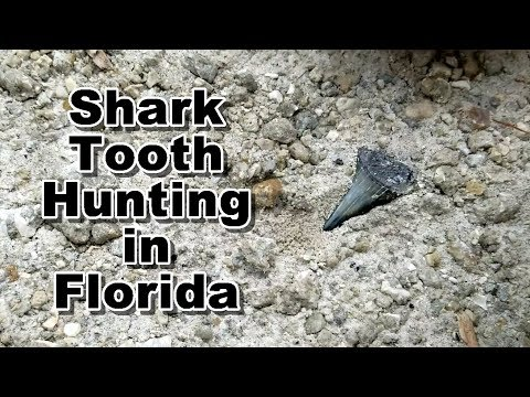 Shark Teeth Hunting for Megalodon and Great Whites in Florida | Fossil Tooth Hunt
