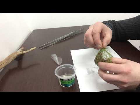 Обзор Аквариумное растение Ситняг живородящий (ELEOCHARIS VIVIPARA) в питательном геле