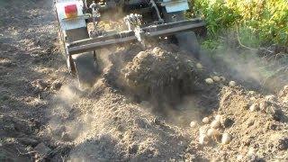 Копка картофеля веерной копалкой