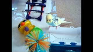 Talking parakeet/budgie bird -  entertaining  playing and talking.mp4