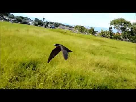Mafia Falconry Indonesia Project Into The sky