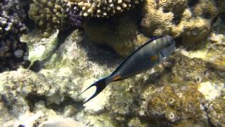 1306.00034 Sohal Surgeonfish Thumbnail