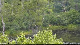 SWP Video 2019 06 19 082500 AT BEAVER CORNER DEER WATCHES AS GBH FLIES AND RABBIT HOPS ACROSS IN FRO
