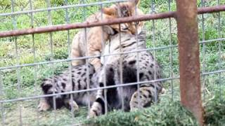 Savannah cats mating Thumbnail