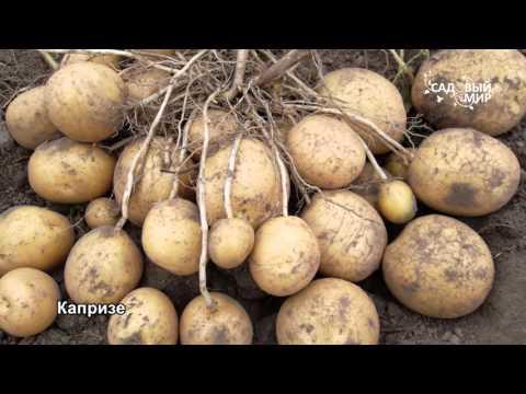 """Сорта картофеля, устойчивые к непогоде. Сайт """"Садовый мир""""   устойчивые   владимиров   картофеля   картофель   глинистой   вырастить   выбрать   сергей   сорта   почве"""