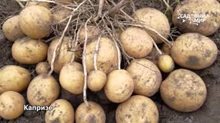 Сорта картофеля, устойчивые к непогоде. Сайт