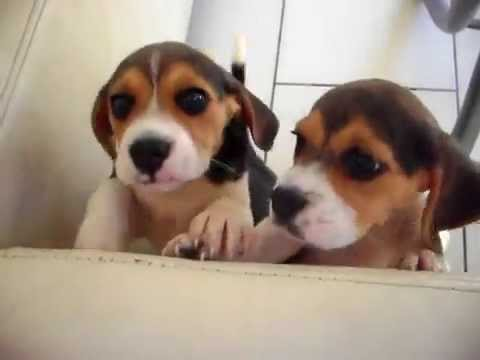 Beagle Puppies Playing Cute Dogs And Puppies Youtube