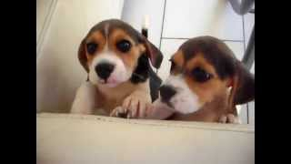 Beagle Puppies Playing (cute!) - Dogs And Puppies
