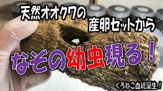 クワガタ&カブトムシ☆昆虫採集 天然オオクワの産卵セットからナゾの幼...