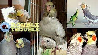 Cockatiels are the BEST | DOUBLE TROUBLE EDITION | Happy Cockatiels | Cockatiel Funny Videos |
