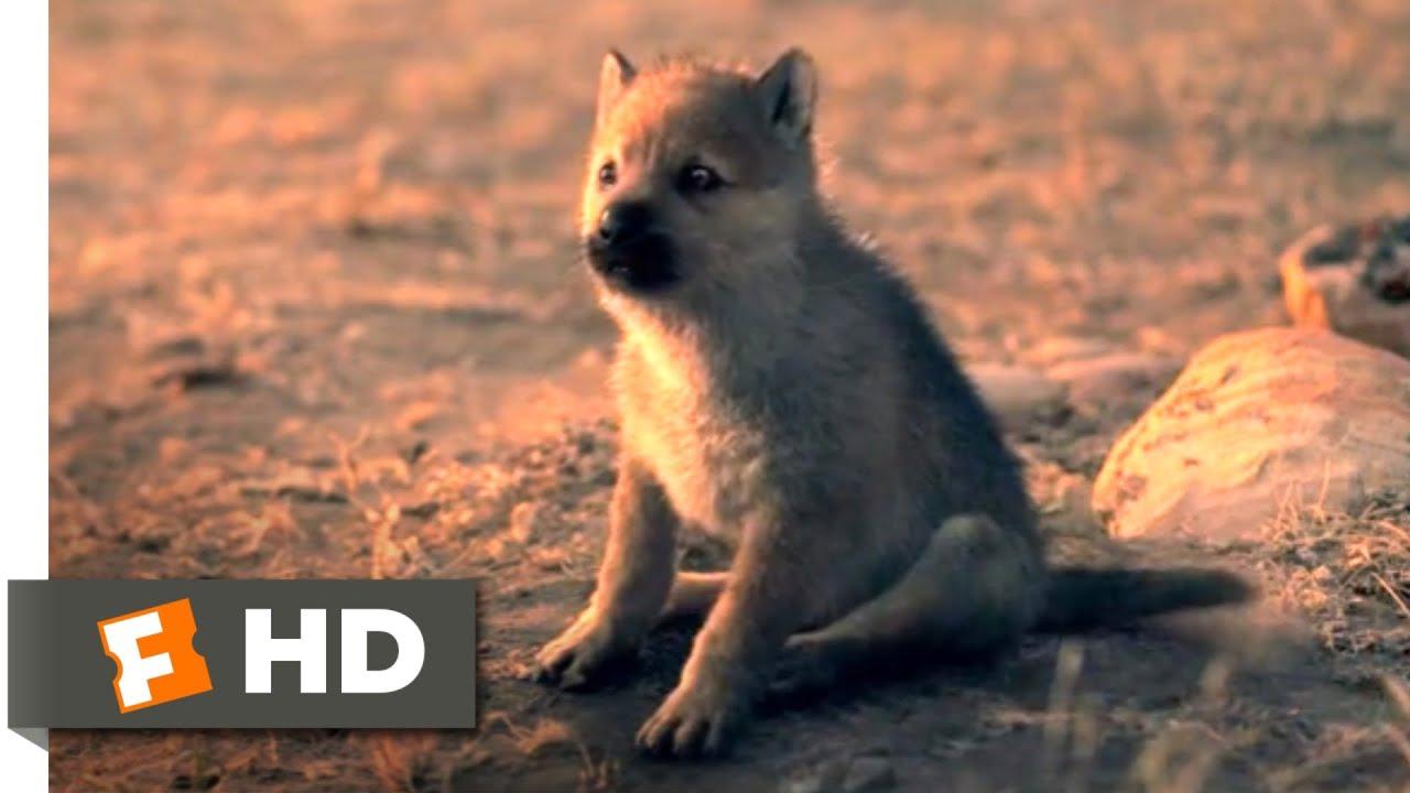 Download Alpha (2018) - Wolf Puppies Scene (10/10)   Movieclips