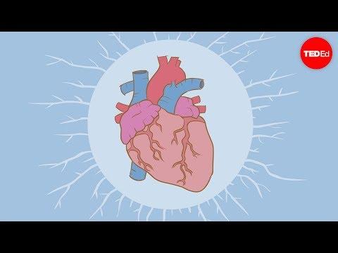 หัวใจสูบฉีดเลือดได้อย่างไร