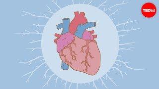 หัวใจสูบฉีดเลือดได้อย่างไร - Edmond Hui