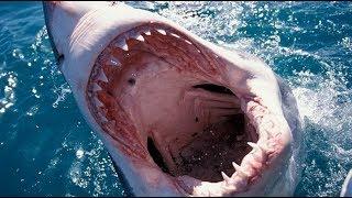 В такую пасть может въехать автомобиль. Факты об акулах. Документальный фильм.