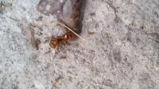 Ant Man is attacked and killed by ants
