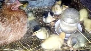 Мама   курица а дети   утята